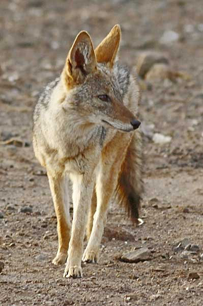 black-backed jackal standing, front-on view