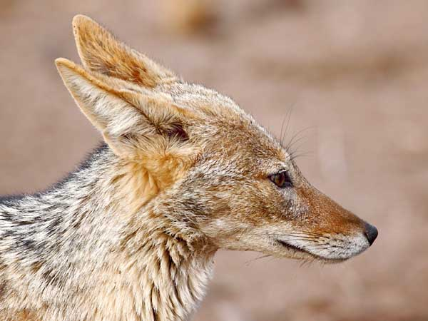 black-backed jackal close-up, side view