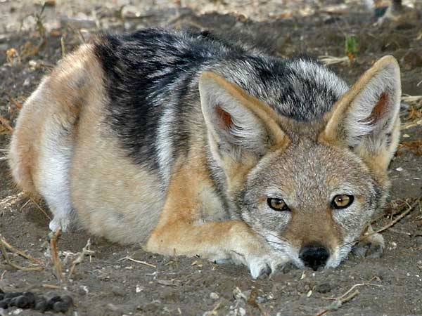 black-backed jackal at rest