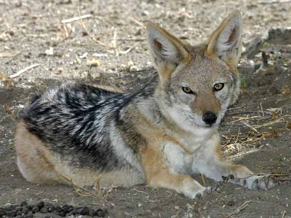 Jackal resting in the shade