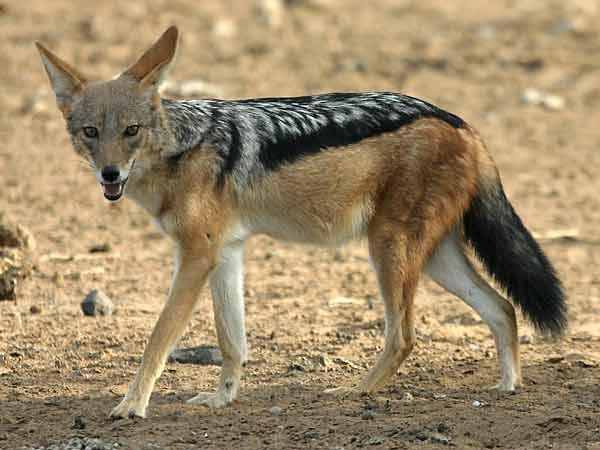 Jackal walking in sandy terrain, side view