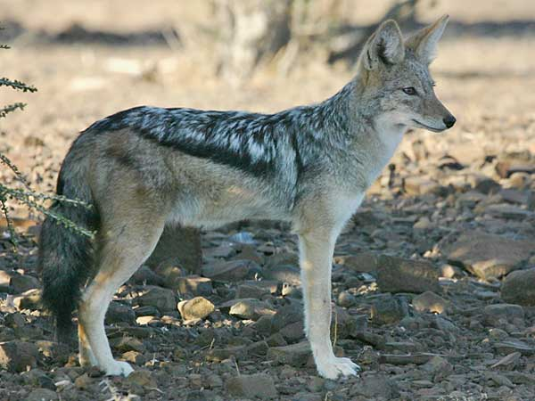 Jackal standing, side-on view