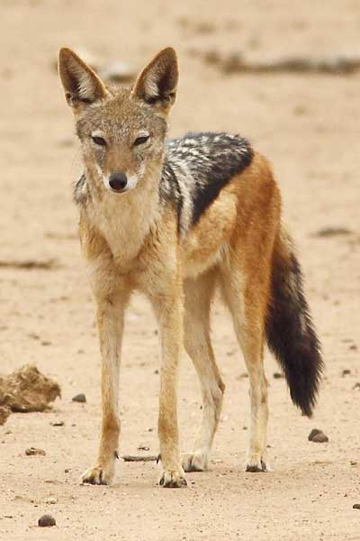 black-backed jackal, front-on view