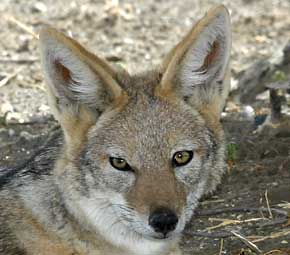 black-backed jackal head shot