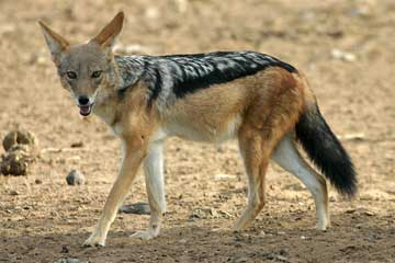 black-backed jackal, side-on view