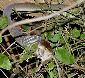 Black mamba swallowing prey