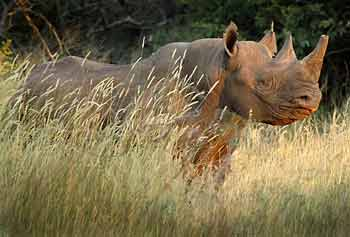 Black Rhino, side view