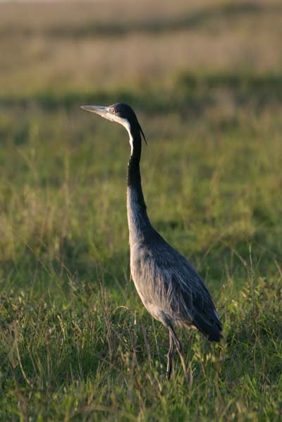 Blackheaded Heron