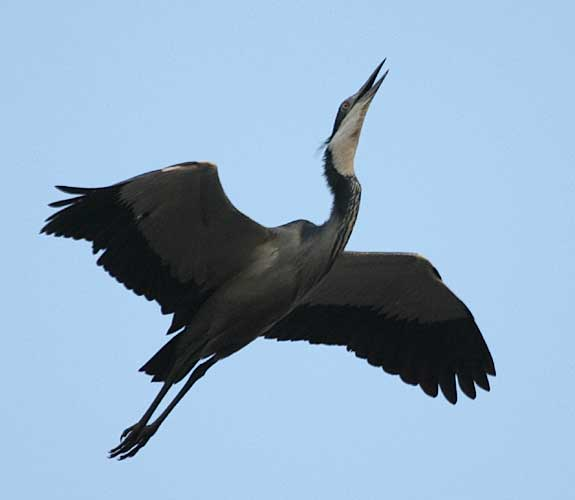 Blackheaded Heron in flight
