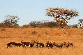 Blesbok herd, Spioenkop Nature Reserve, South Africa