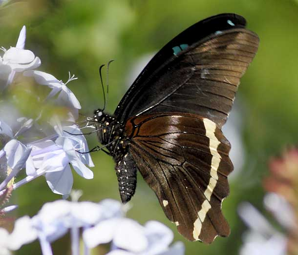 Blue-banded swallowtail butterfly with legs touching flower
