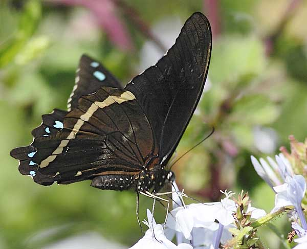 blue-banded swallowtail butterfly on plumbago flower
