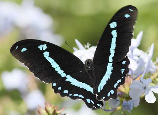 Blue banded swallowtail butterfly on flower