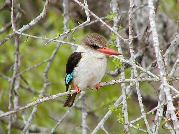 Brownhooded Kingfisher photograph