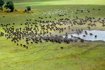 Buffalo herd from the air, Moremi Game Reserve, Botswana