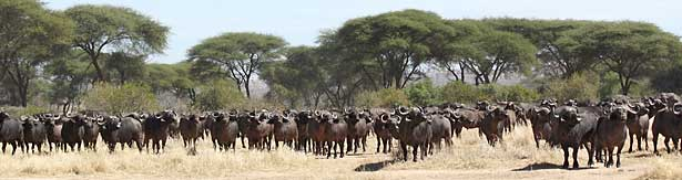 Buffalo herd, Ruaha National Park, Tanzania
