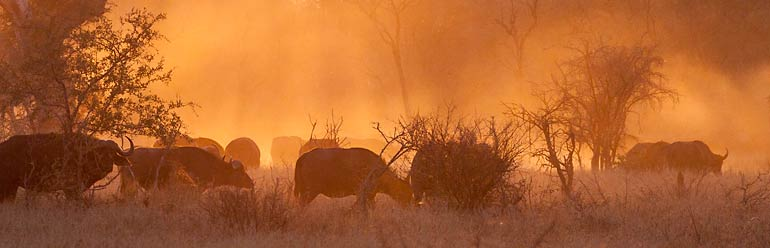 Buffalo create cloud of dust, Kruger National Park