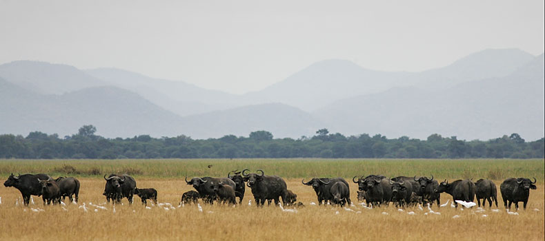 Herd of Cape Buffalo, Lower Zambezi National Park, Zambia