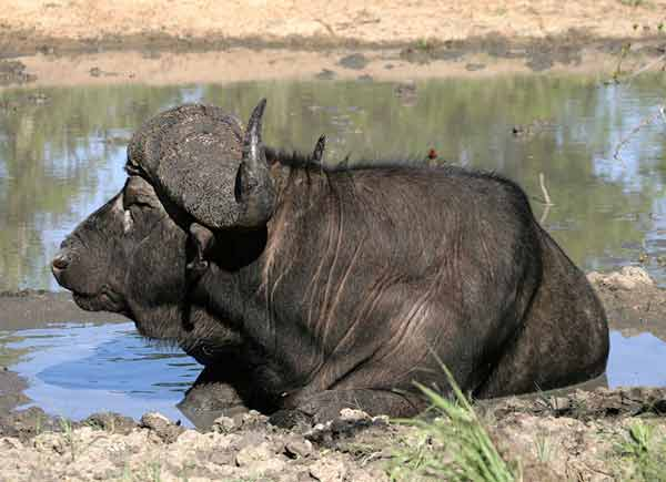 Buffalo Bull cooling off in waterhole