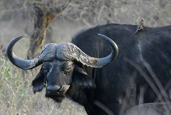 Buffalo Bull with Oxpecker
