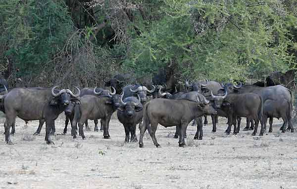 Buffalo herd, Lower Zambezi National Park, Zambia