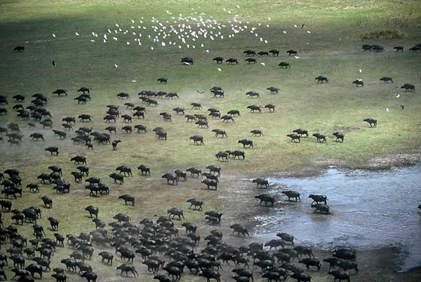 Buffalo herd, Moremi Game Reserve