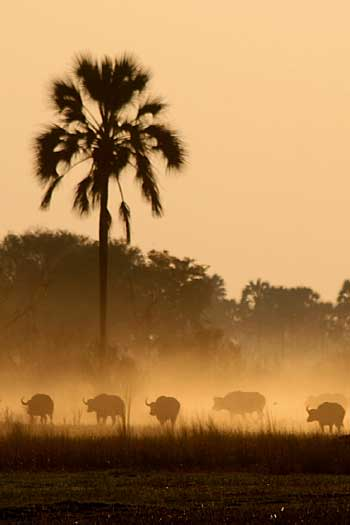 Buffalo herd in dust haze, Okavango Delta, Botswana
