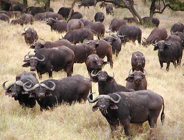 Buffalo herd grazing