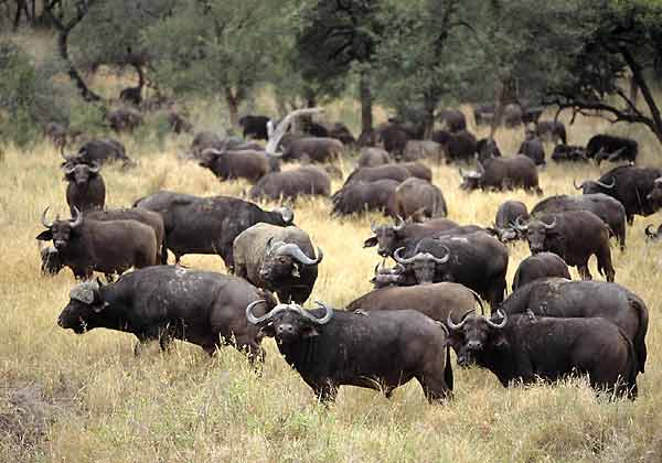 Buffalo Herd in Umfolozi Game Reserve, South Africa
