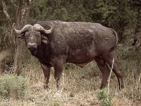 buffalo bull, side view