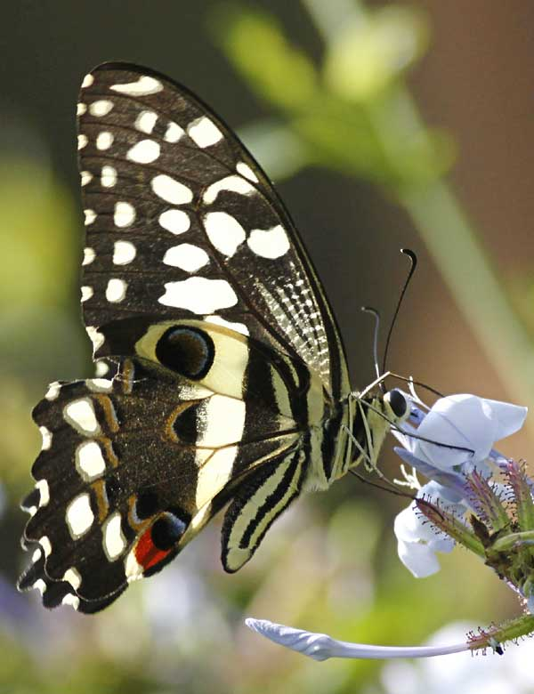 Citrus swallowtail butterfly feeding on nectar