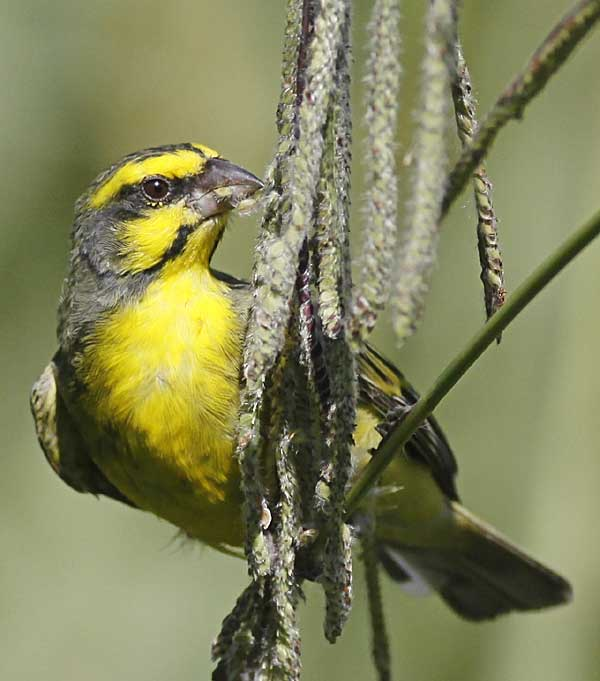 Yellow-fronted canary on grass stem