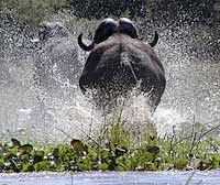 Buffalo make a splash in Zambezi River
