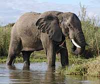 Elephant in river shallows