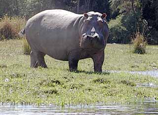 Hippo on banks of river