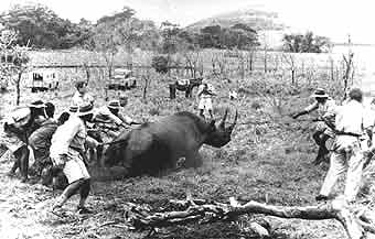 Early rhino capture