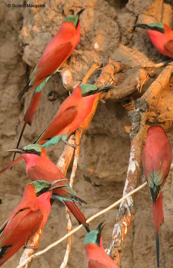 Carmine bee-eaters on riverbank
