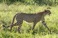 Cheetah walking in green grass