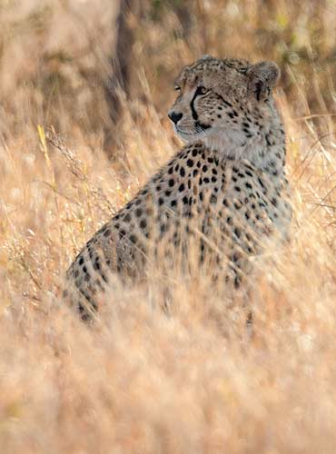 Cheetah in long winter grass, Kruger National Park