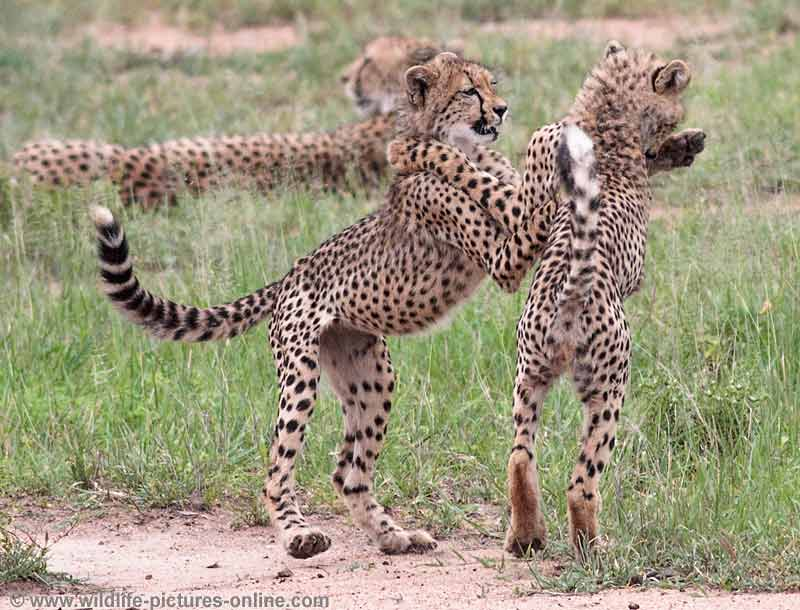 Cheetah cubs play fighting