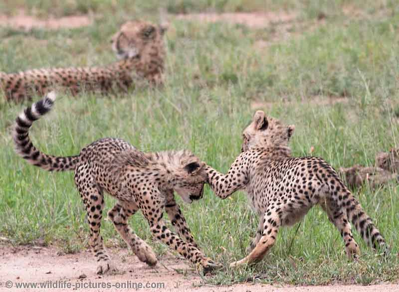 Pair of cheetah cubs try out attack skills