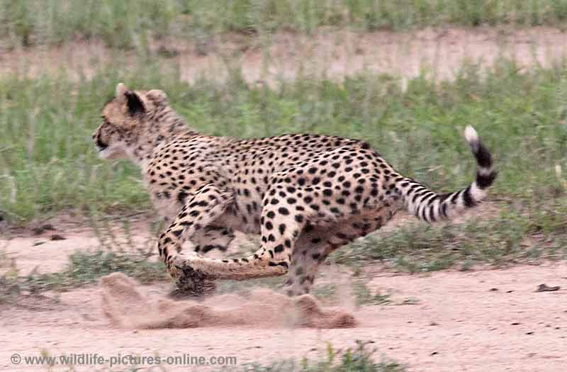 Cheetah cub practising the chase