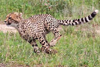 Young cheetah running, Kruger National Park