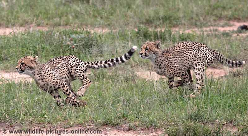 Cheetah cubs practicing chasing down prey