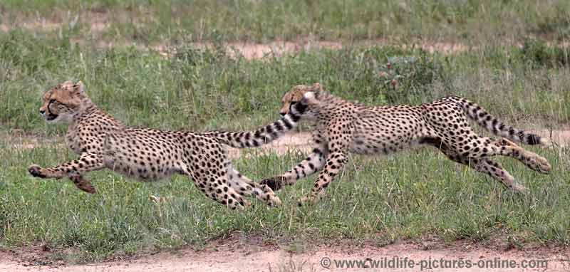 Cheetah cubs running at speed