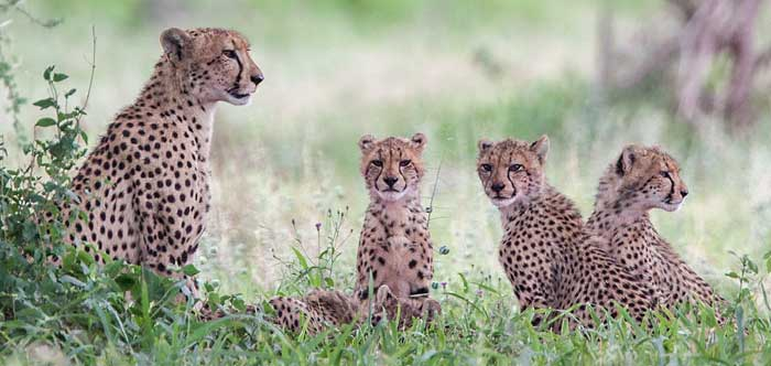 Cheetah mother and sub-adult cubs, Kruger National park