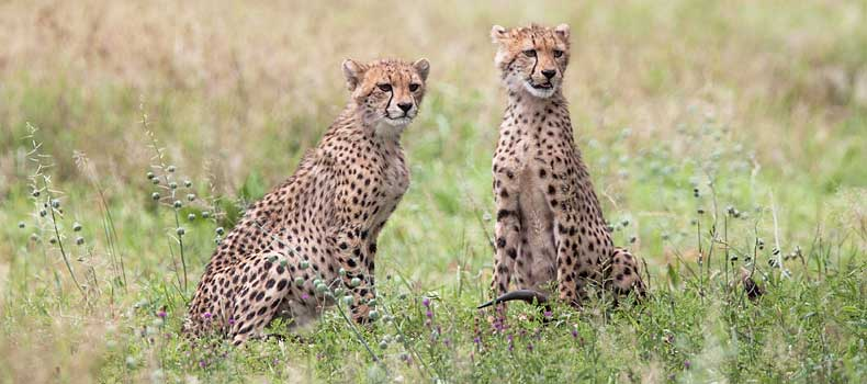 Pair of young cheetahs alert for danger, Kruger National Park, South Africa