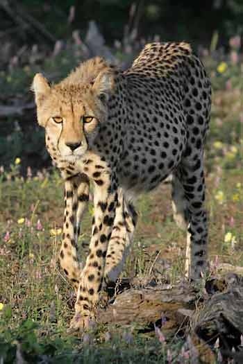 Young cheetah, front on view