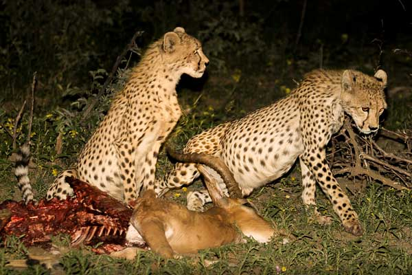 Cheetah on impala kill