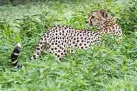 Cheetah in green vegetation, Mashatu  GR